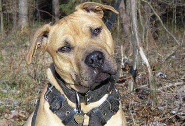 American PitBull Terrier chovná stanice BRIXA´S - KENNEL